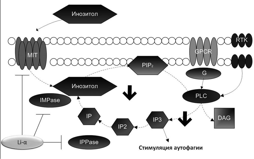 Вещества усиливающие синаптогенез, русской