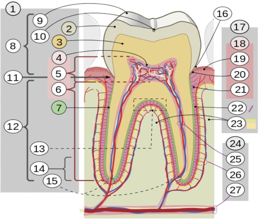 Стволовые клетки в стоматологии